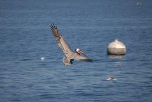 photo of Pelican in flight_marine wildlife