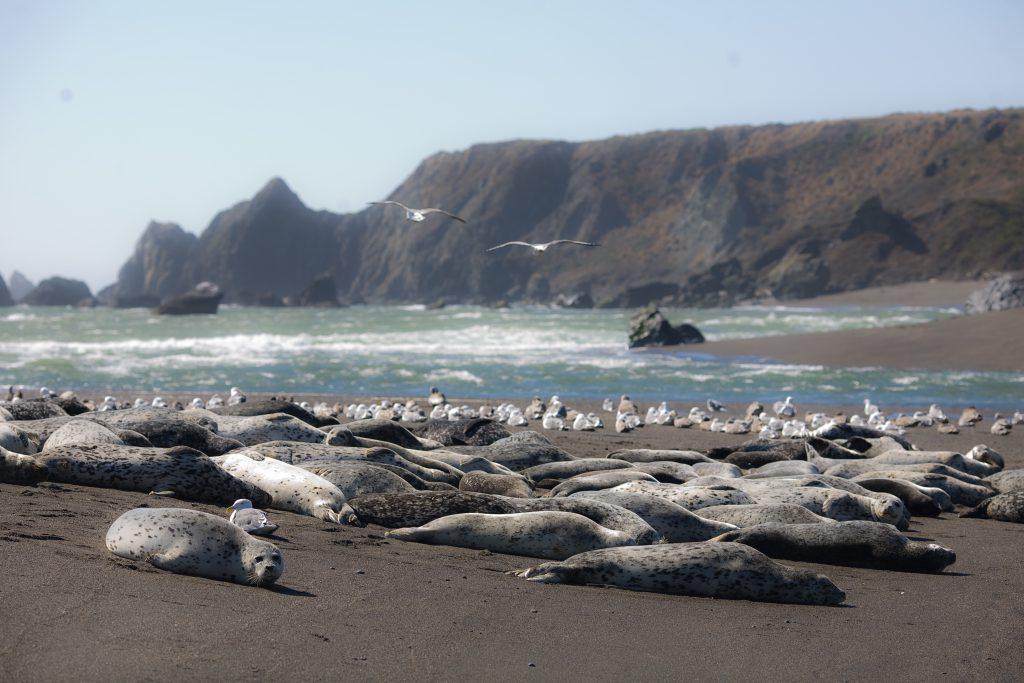Harbor Seals in Bodega Bay